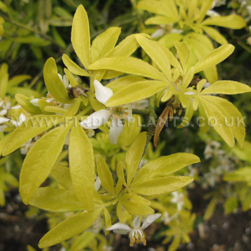 plant pictures choisya ternata 39 goldfinger 39 mexican orange blossom secondary image. Black Bedroom Furniture Sets. Home Design Ideas