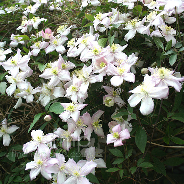 plant pictures clematis montana 39 rubens 39. Black Bedroom Furniture Sets. Home Design Ideas