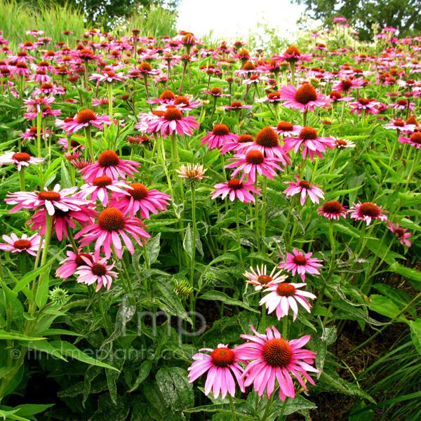 plant pictures echinacea purpurea 39 magnus 39 echinacea. Black Bedroom Furniture Sets. Home Design Ideas