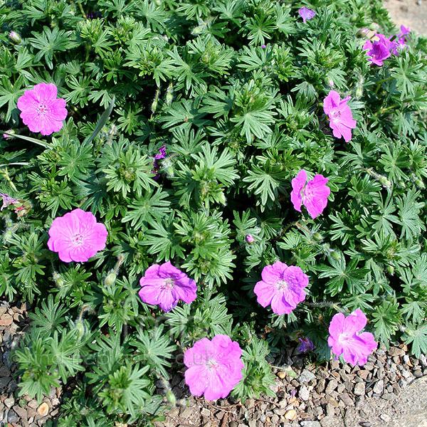Types Of Geraniums: Plant Pictures: Geranium Incanum