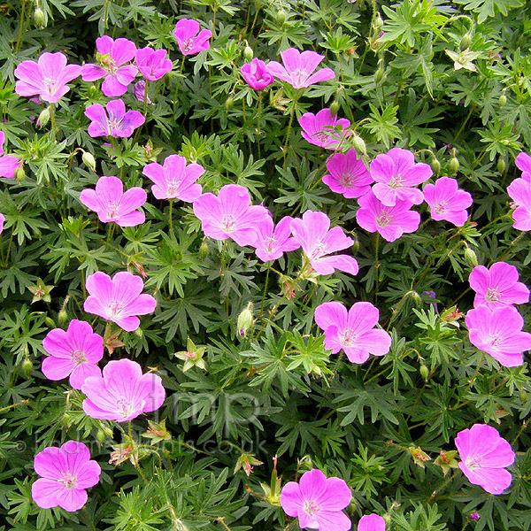 Types Of Geraniums: Plant Pictures: Geranium Sanguineum (Cranesbill