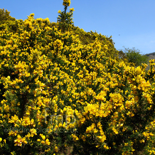 Plant pictures shrubs with yellow flowers shrubs with yellow flowers mightylinksfo
