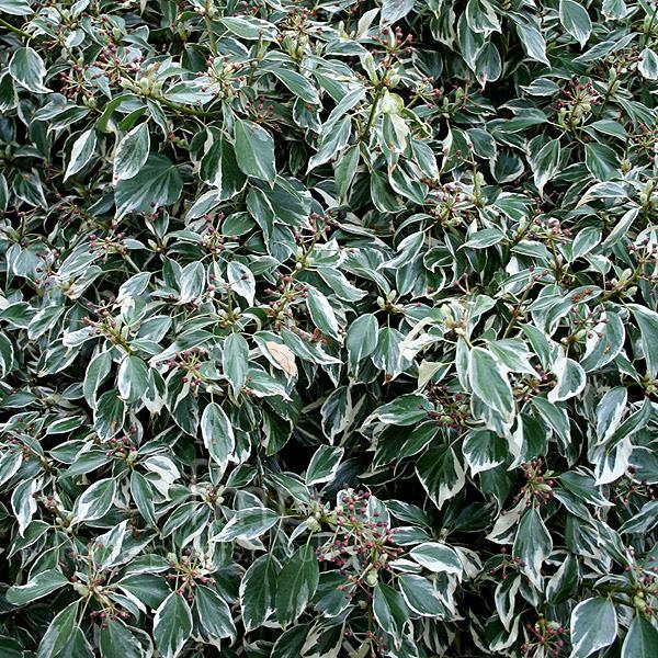 Plant Pictures: Hedera helix - 'Marginata' (Ivy, Hedera)