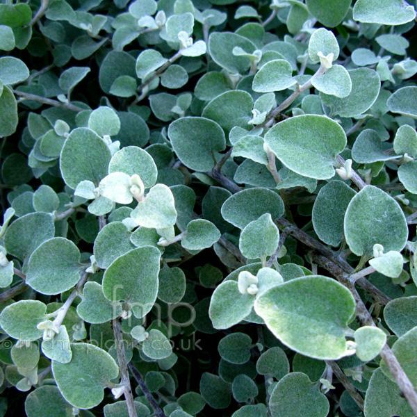 Plant pictures: helichrysum petiolare (helichrysum)