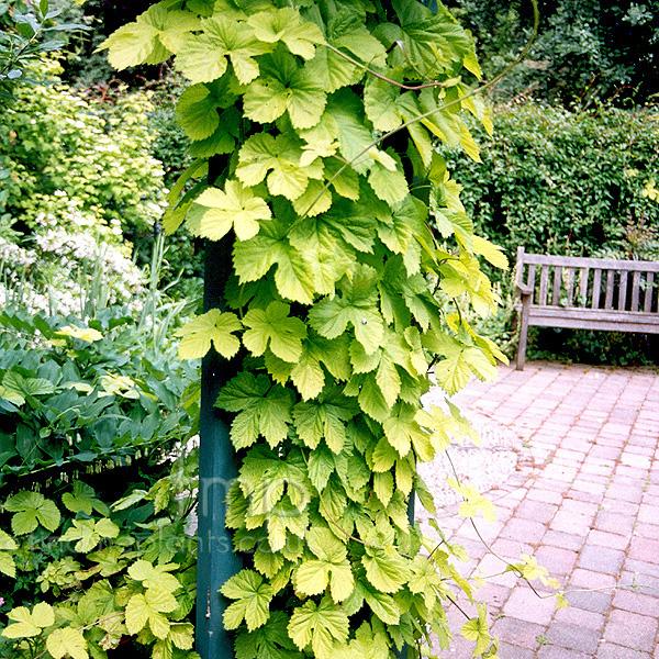 Physocarpus opulifolius summer wine for Hops garden designs