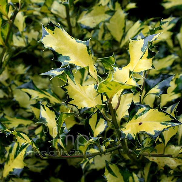 Http Www Plant Pictures Net 2294 Ilex Aquifolium Picture Aspx