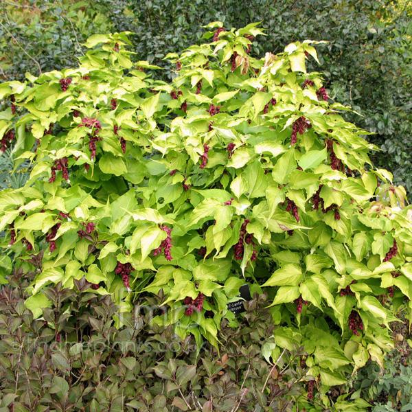 plant pictures leycesteria formosa golden lanterns