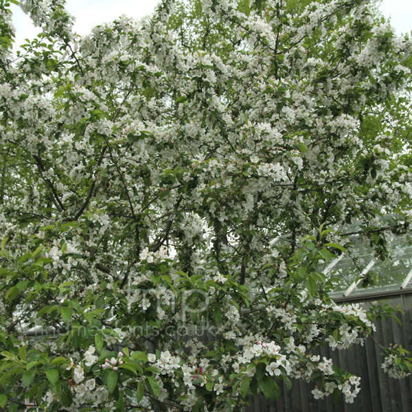 plant pictures malus robusta 39 red sentinel 39 crab apple. Black Bedroom Furniture Sets. Home Design Ideas