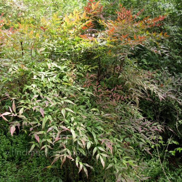 Plant pictures nandina domestica sacred bamboo for Plante nandina