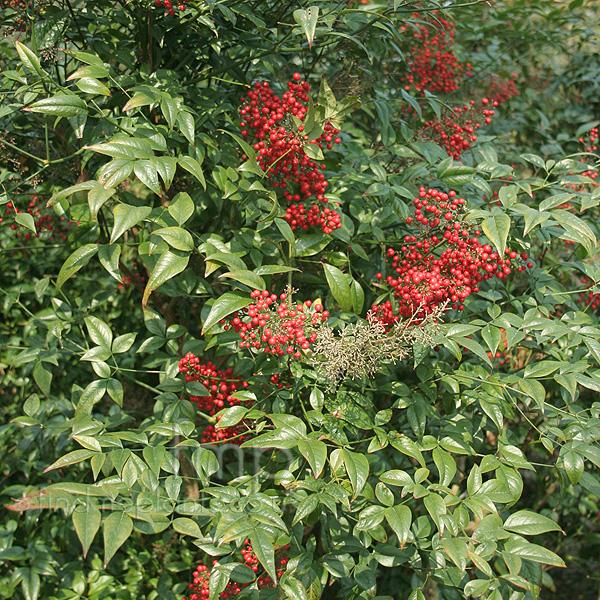 Plant pictures nandina domestica 39 richmond 39 sacred bamboo for Plante nandina