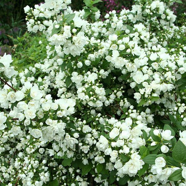 Plant pictures philadelphus 39 manteau d 39 hermine 39 mock orange philadelphus - Philadelphus manteau d hermine ...