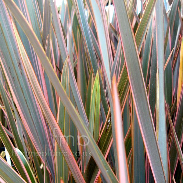 rainbow queen flax