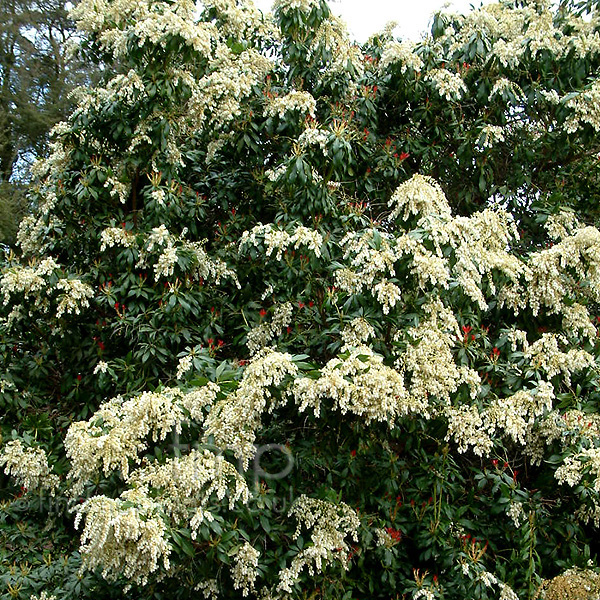 Plant pictures shrubs with white flowers shrubs with white flowers mightylinksfo
