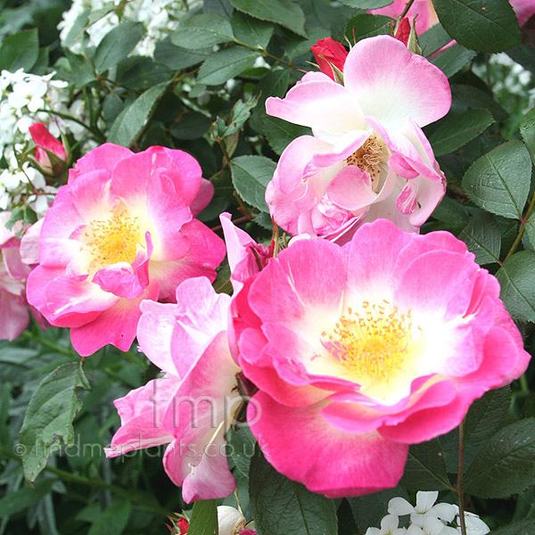 Plant Pictures Rosa  Erfurt