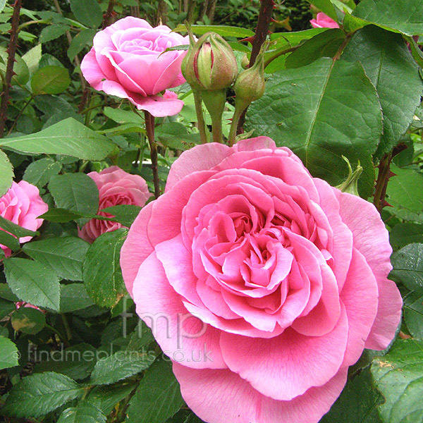 plant pictures rosa 39 gertrude jekyll 39 english rose. Black Bedroom Furniture Sets. Home Design Ideas