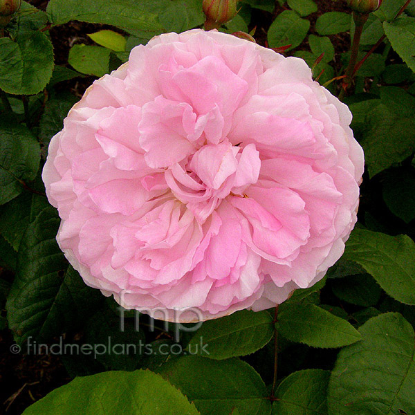 plant pictures rosa 39 mary rose 39 english rose. Black Bedroom Furniture Sets. Home Design Ideas