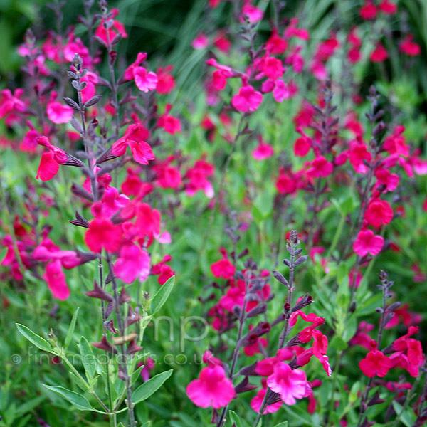 Salvia Plant Pictures 78