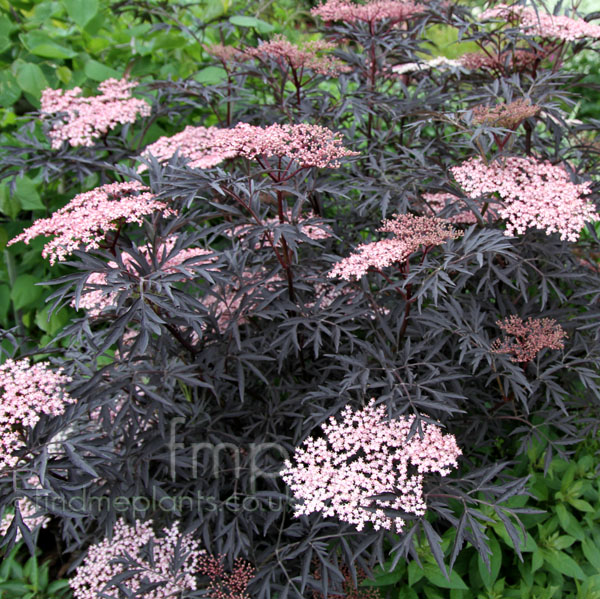 plant pictures shrubs with purple foliage, Natural flower