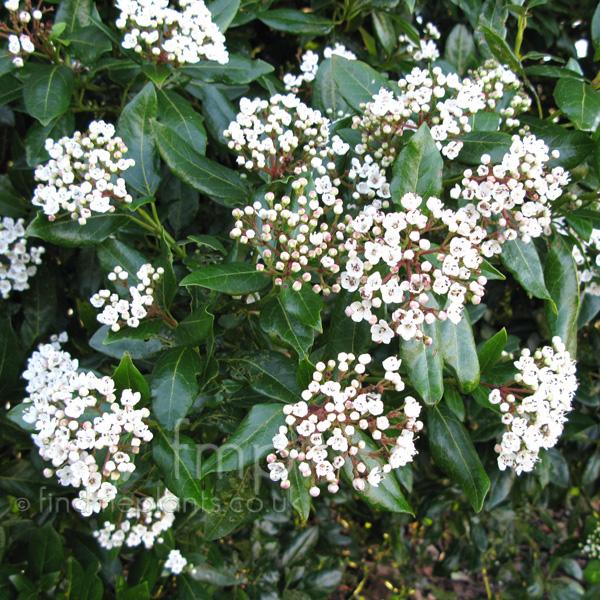 plant pictures viburnum tinus 39 lucidum 39 secondary image. Black Bedroom Furniture Sets. Home Design Ideas