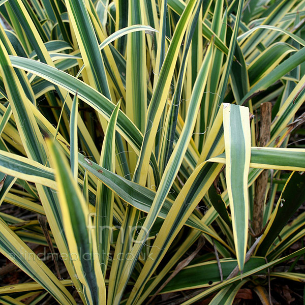 Yucca Plant Types Plant Pictures Yucca